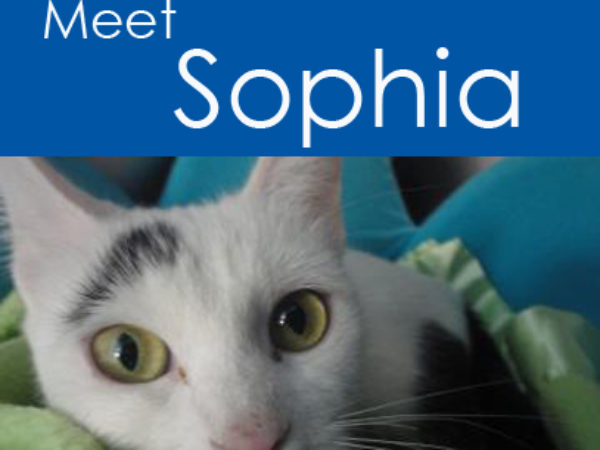 Sophia the cat available for adoption at the Ontario SPCA Midland Branch