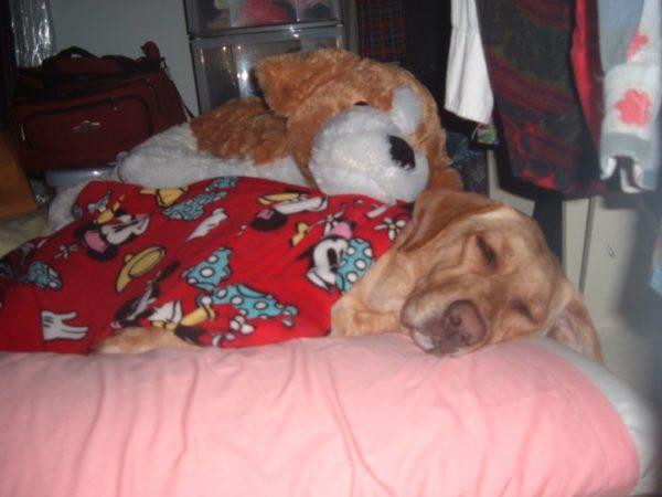 Dog sleeping in pajamas