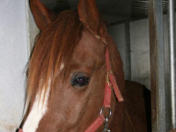 Sox the Horse