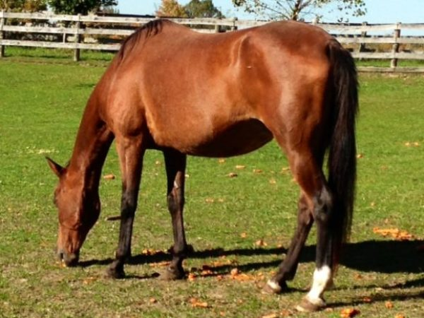 Horse currently available for adoption at the Ontario SPCA