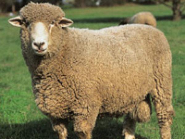 Ontario Sheep