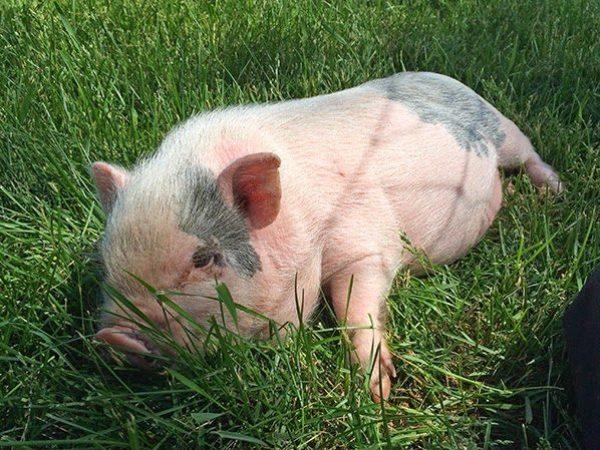 Ophelia the pig