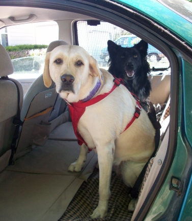 dogs strapped into backseat