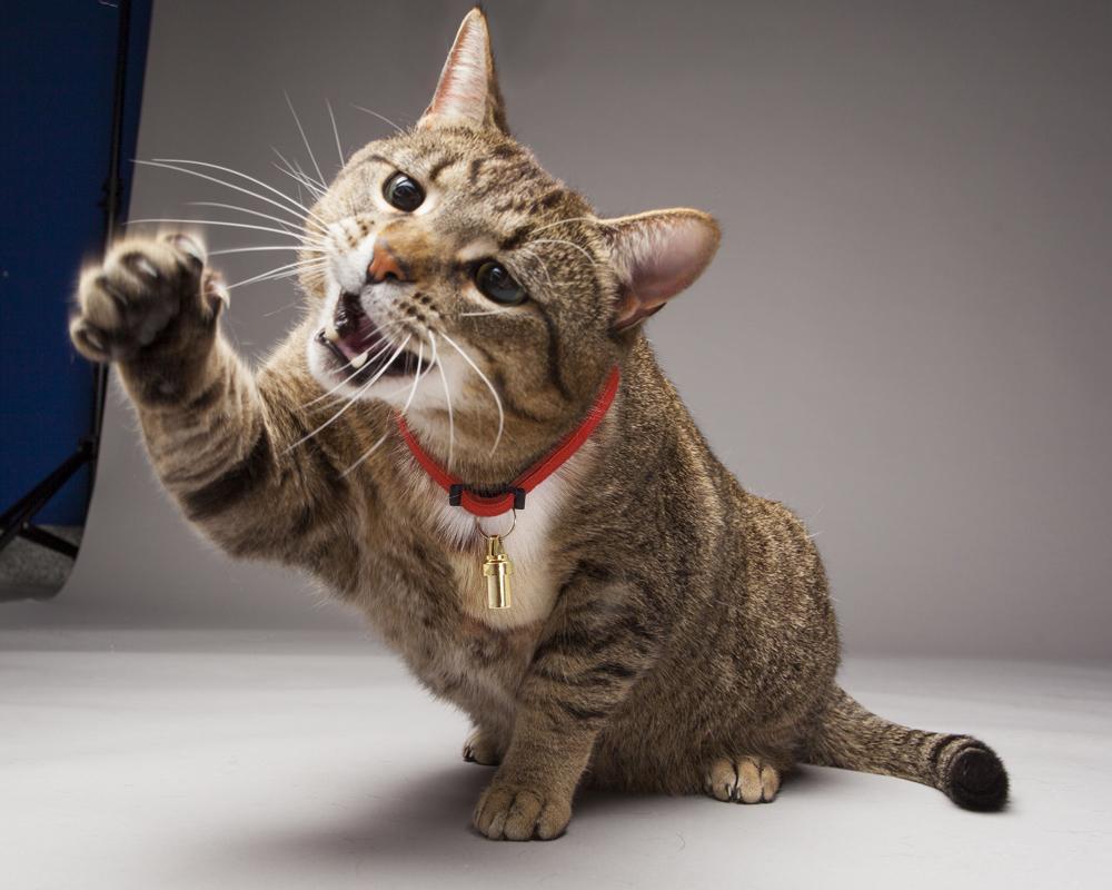 هل خربشة القطة خطيرة؟