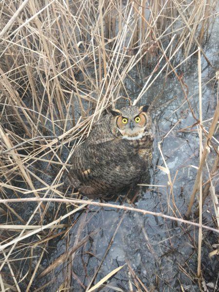 owl, rescue