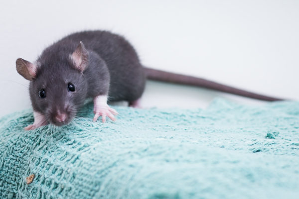 rat, rats, rat-adopt-a-thon
