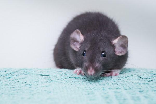 rat, rat care tips, rats