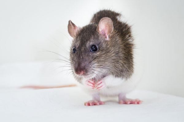 Python the rat, rats, rat-adopt-a-thon
