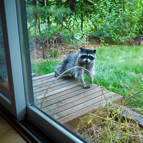 wildlife, raccoon, live trapping