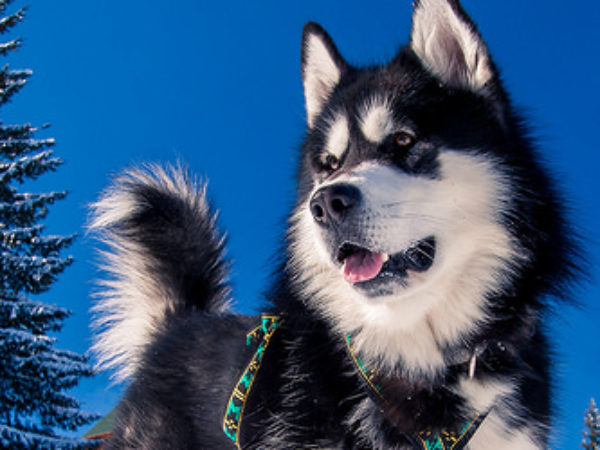 dog outside in winter, husky, ideal doghouse