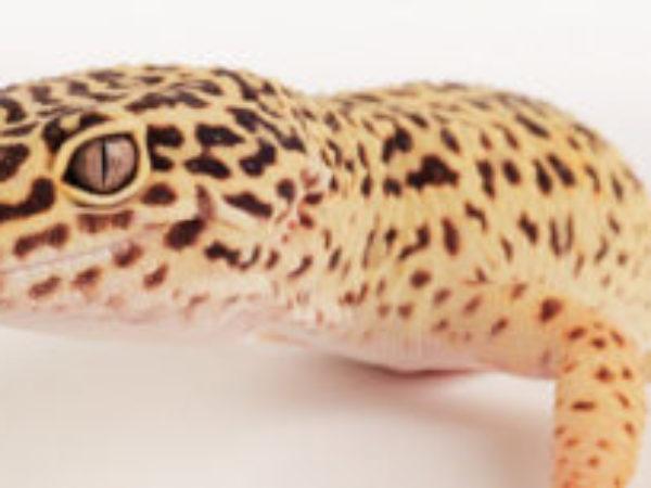 Astrid, gecko, ontario SPCA, spca