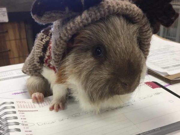 guinea pig, ontario SPCA, spca , a-team