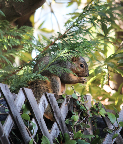 squirrel, lawns, gardens, wildlife