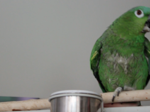 parrot care, parrots, ontario spca podcast