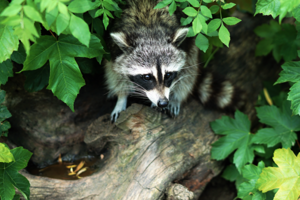 live trapping, raccoon, raccoons