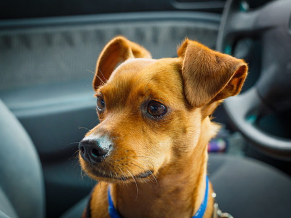 dog in car, no hot pets, road trip, ontario spca