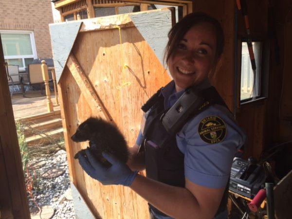 raccoon rescue, widlife, ontario spca, ospca, raccoons
