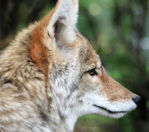 coyote, coyotes, wildlife