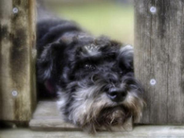 old dog adoption