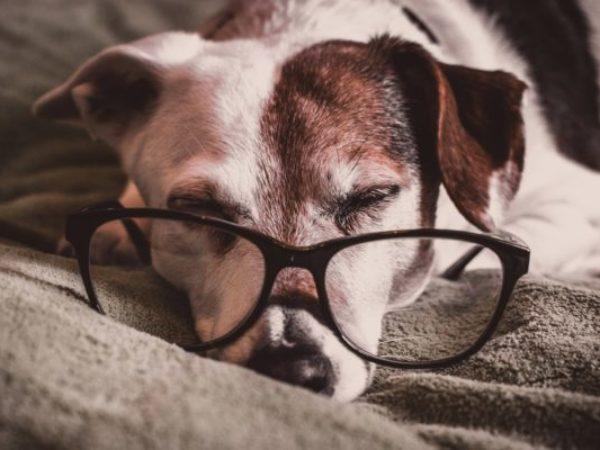 senior dog, senior pet, adopt
