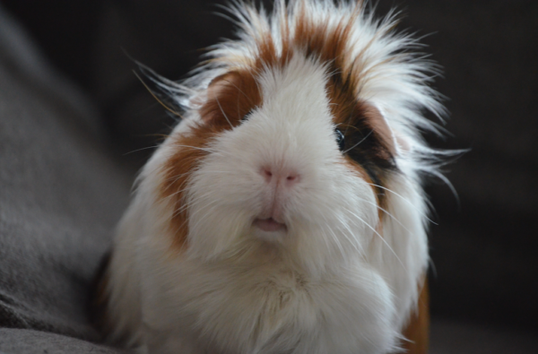 guinea pig, adopting guinea pig