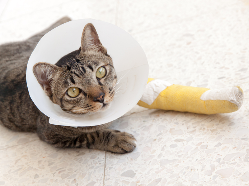cat with cone and bandaged leg