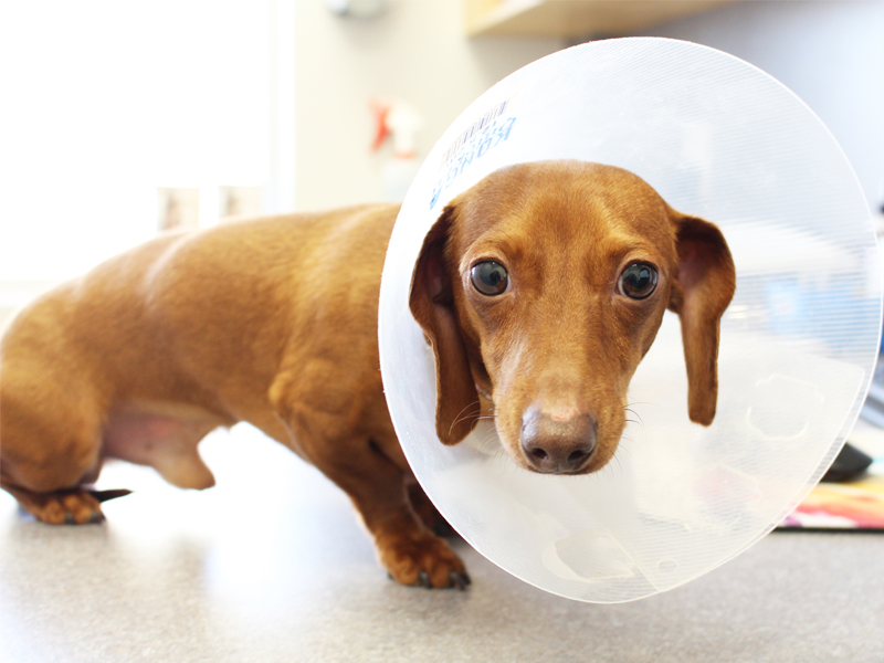 Dashund wearing cone spay neuter