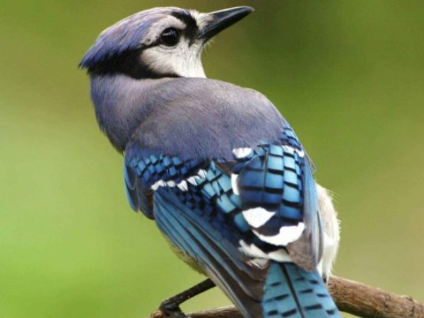 blue jay, wildlife, birds