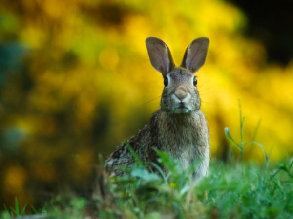 rabbit, rabbits, wildlife