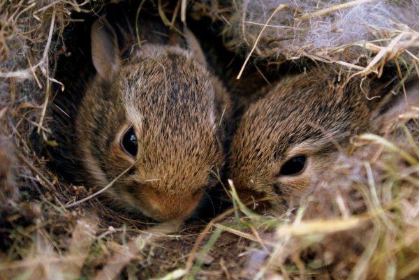 baby rabbit, orphaned rabbit, bunny