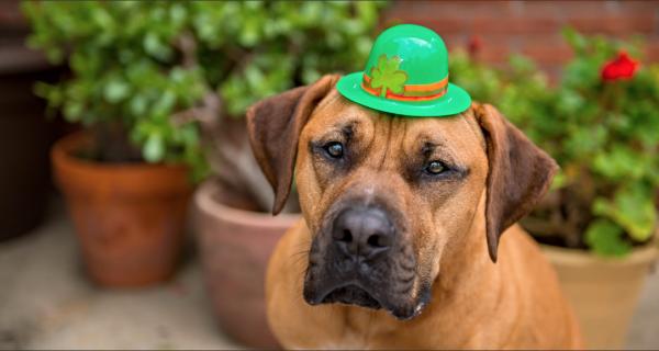 st. patricks day, pet safety