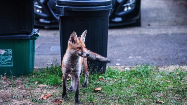 fox, foxes, wildlife proof your property
