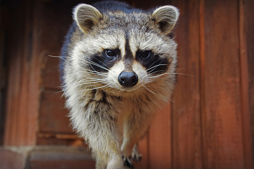 Living with Wildlife: Raccoons