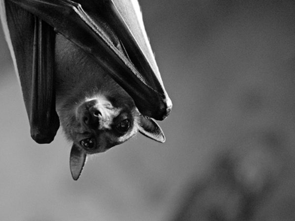 bats, bat, wildlife