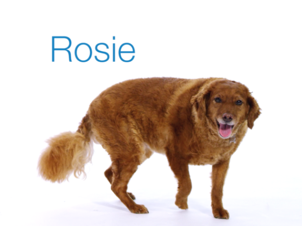 animal rescue story, happy tails, adoption story, golden-doodle