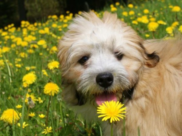 spring cleaning, dog with dandelions