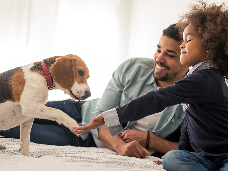 girl and her dad on bed with beagle