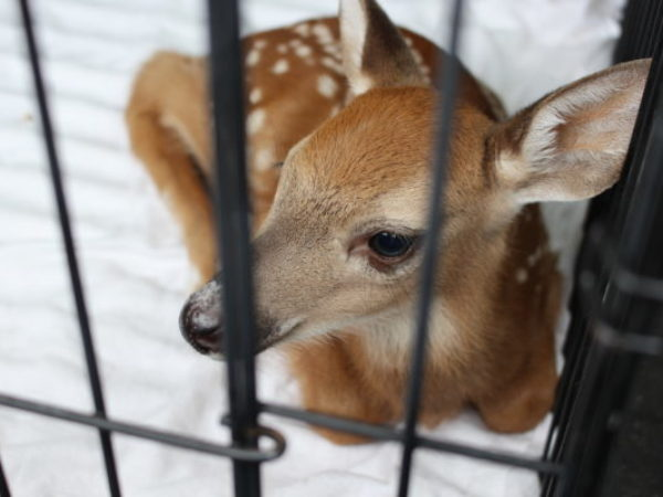 fawn, baby deer, ontario spca, orphaned deer, orphaned wildlife