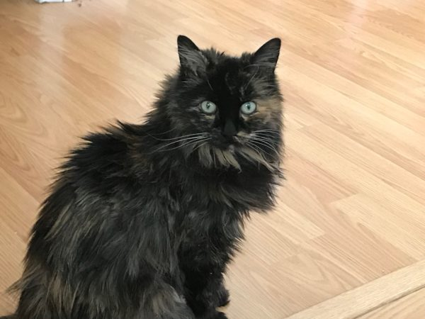 Katie, calico cat, senior cat