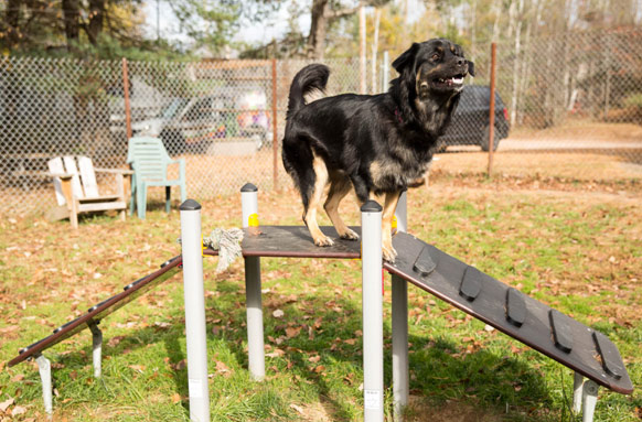 dog standing on agility ladder