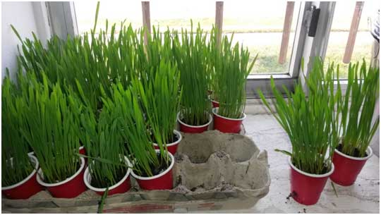 grass grown in cups