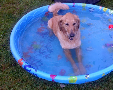 dog laying in kiddy pool