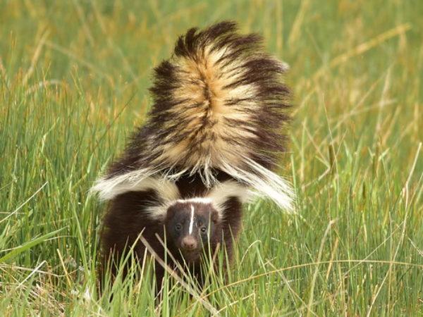 de-skunking, skunk, skunks, wildlife, pet tips