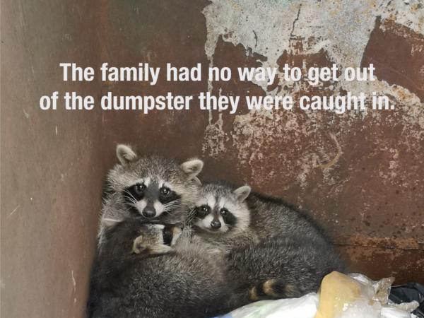 raccoon, raccoons, raccoon family rescue