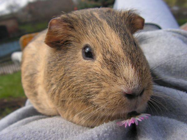 guinea pig, guinea pigs, adoption tips, adopting a guinea pig