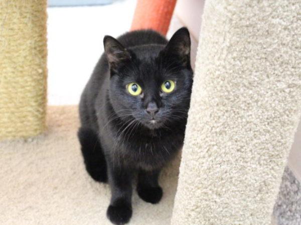 adopt a black cat, black cats, myth of black cat