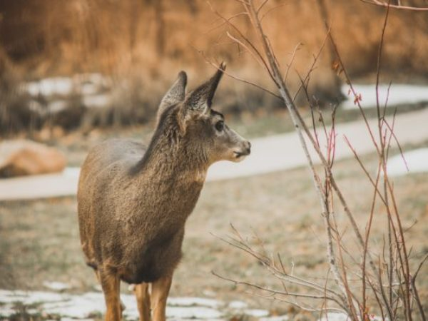deer in winter, injured wildlife
