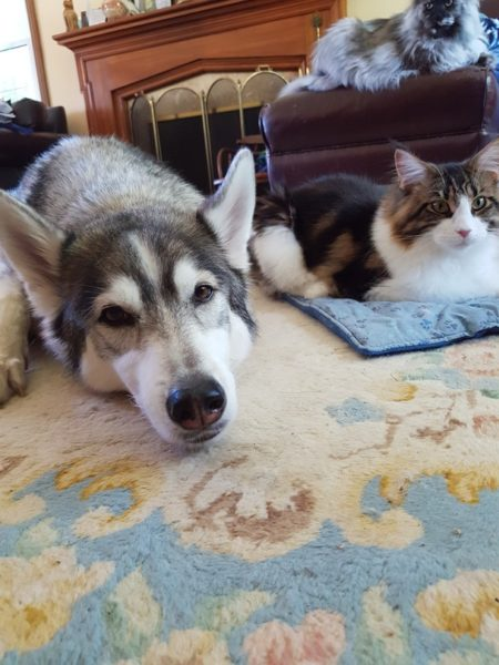 cats and dogs bffs, cat and dog cuddling, husky and cat friend