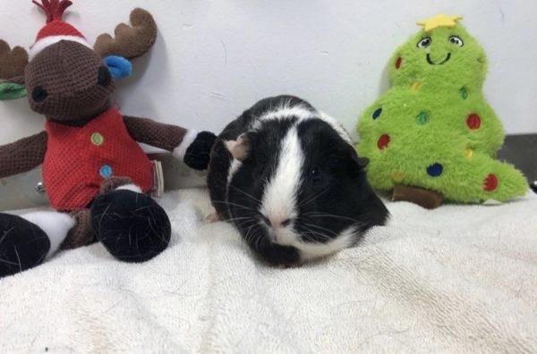 loving home, iAdopt for the holidays, guinea pig, adopt a shelter pet
