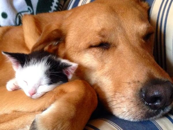 cats and dogs bffs, cat and dog cuddling